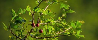 hawthorn Imagem de Stock