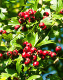 Hawthorn. Mature nice red hawthorn berries Royalty Free Stock Images