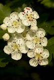 Hawthorn. Tree with white flowers on sky Royalty Free Stock Images