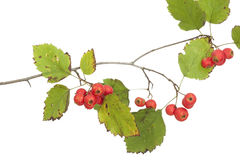 Hawthorn. Branch close up on white background Royalty Free Stock Image