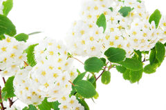 Hawthorn Royalty Free Stock Images