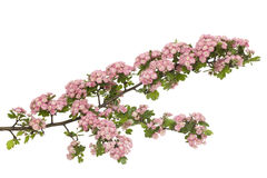 Hawthorn. Decoration hawthorn in bloom with red flower heads Stock Photos