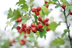 Hawthorn. Mature nice red hawthorn berries Stock Photography