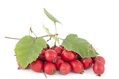 Hawthorn Stock Images
