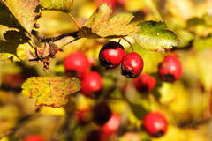 Hawthorn Royalty Free Stock Photography