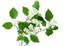 Hawthorn. Branch with flowers on white background Stock Photo