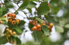 Hawthorn in autumn. Hawthorn fruits in autumn close up Royalty Free Stock Photo