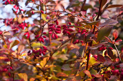 Hawthorn berries Stock Photography