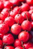 Hawthorn berries Stock Image