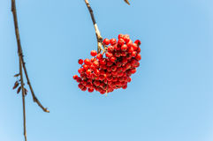 Hawthorn berries during autumn in the Alps Royalty Free Stock Images