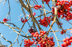 Hawthorn berries during autumn in the Alps Stock Photo