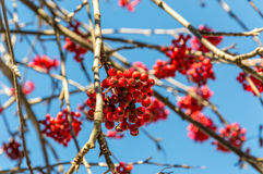 Hawthorn berries during autumn in the Alps Royalty Free Stock Photography