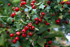 Hawthorn berries. In autumn garden Stock Photo