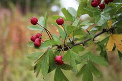 Hawthorn berries in autumn royalty free stock images