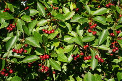 Hawthorn. Berries, hawthorn  (backgrounds, trees and gardens Stock Photo
