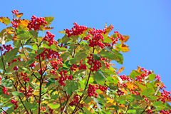 Hawthorn berries Stock Photos