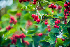 Hawthorn. Berries and the blurry background Royalty Free Stock Photos