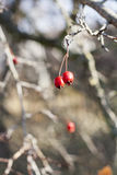 Hawthorn berries on a branch, autumn sketch, beautiful autumn picture ripe berries Stock Images