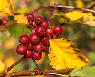 Hawthorn berries Stock Images
