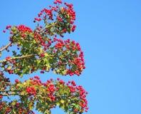 Hawthorn berries Stock Photography
