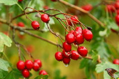 Hawthorn berries. Crataegus laevigata. Hawthorn berries in an autumn day. Crataegus laevigata Stock Image
