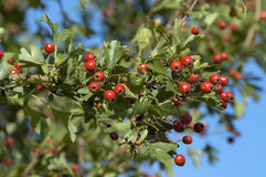 Hawthorn Berries Royalty Free Stock Images