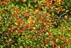 Hawthorn berries in the garden Stock Image