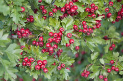 Hawthorn Berries in Germany royalty free stock image