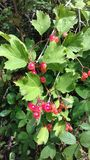 Hawthorn berries on hedgerow Royalty Free Stock Photo