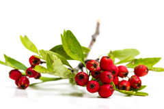 Hawthorn berries isolated Stock Photography