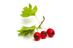 Hawthorn berries isolated Royalty Free Stock Images