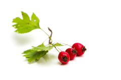 Hawthorn berries isolated Royalty Free Stock Photography