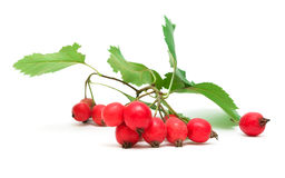Hawthorn berries isolated on a white background close-up Stock Photography