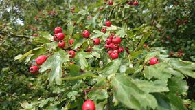 Hawthorn berries. Hawthorn laden for winter time food Royalty Free Stock Image