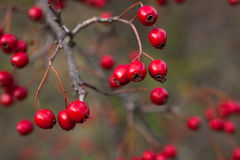 Hawthorn berries  in late autumn Stock Photos