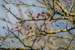 Hawthorn berries lit by the rays of autumn sun Royalty Free Stock Image
