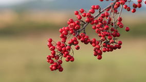 Hawthorn berries stock footage