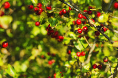 Hawthorn berries in nature Royalty Free Stock Photo