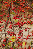 Hawthorn berries in nature Stock Photo