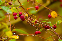 Hawthorn berries in nature Royalty Free Stock Images