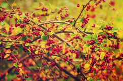 Hawthorn berries in nature Royalty Free Stock Photos