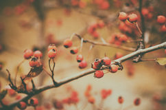Hawthorn berries in nature Stock Photography