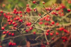 Hawthorn berries in nature Stock Images