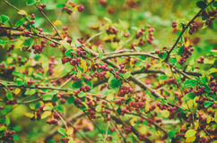 Hawthorn berries in nature Royalty Free Stock Photography
