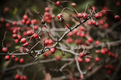 Hawthorn berries in nature Royalty Free Stock Image