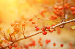 Hawthorn berries in nature Stock Image