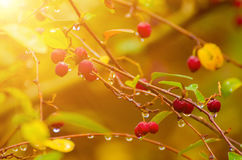 Hawthorn berries in nature Stock Photos