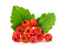 Hawthorn berries over white Stock Images