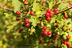 Hawthorn berries Royalty Free Stock Photo