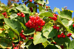 Hawthorn berries. Ripe red berries of hawthorn on branch Stock Photo